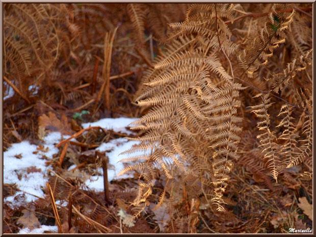 Fougères sur un reste de manteau neigeux, en forêt sur le Bassin d'Arcachon (33)