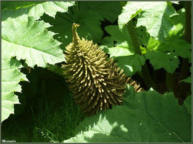 Le Grand Etang : fleur de Gunnera manicata ou Rhubarbes géantes du Brésil - Les Jardins du Kerdalo à Trédarzec, Côtes d'Armor (22)