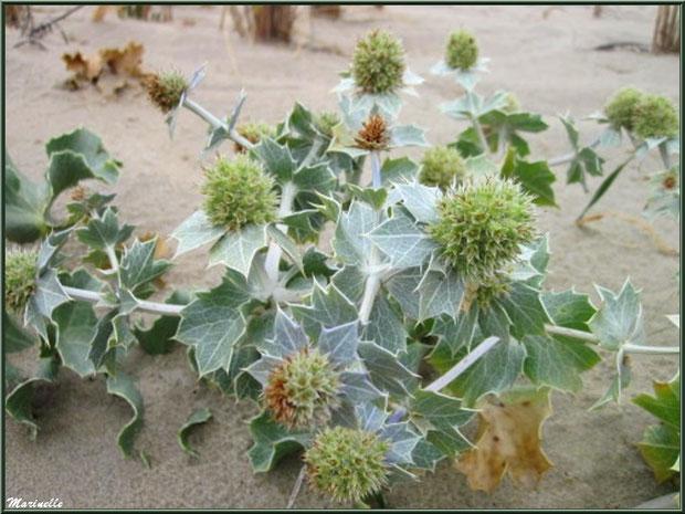 Panicaut Maritime ou Chardon des Sables en fleurs, flore Bassin d'Arcachon (33)