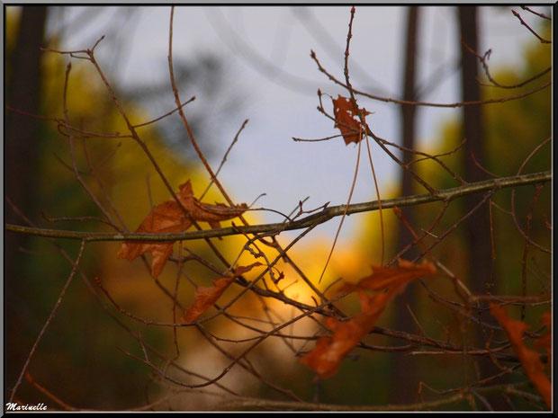 Branche de chêne automnal sur fond de soleil couchant, forêt sur le Bassin d'Arcachon (33)
