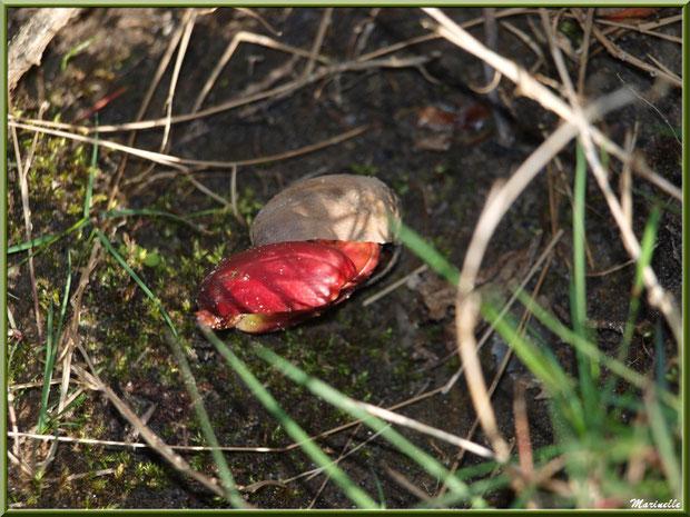 Glands de Chêne Pédonculé, au sol, en cours de germination, flore Bassin d'Arcachon (33)