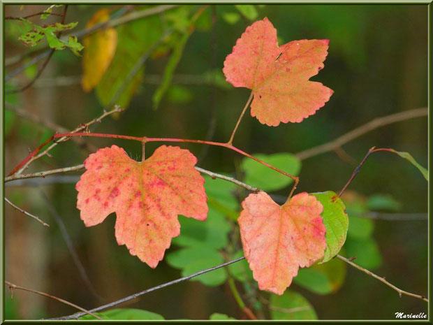 Guirlande de feuilles d'automne en bordure de La Leyre, Sentier du Littoral au lieu-dit Lamothe, Le Teich, Bassin d'Arcachon (33)