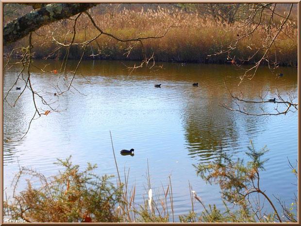 Foulques dans un réservoir, Sentier du Littoral, secteur Port du Teich en longeant La Leyre, Le Teich, Bassin d'Arcachon (33)
