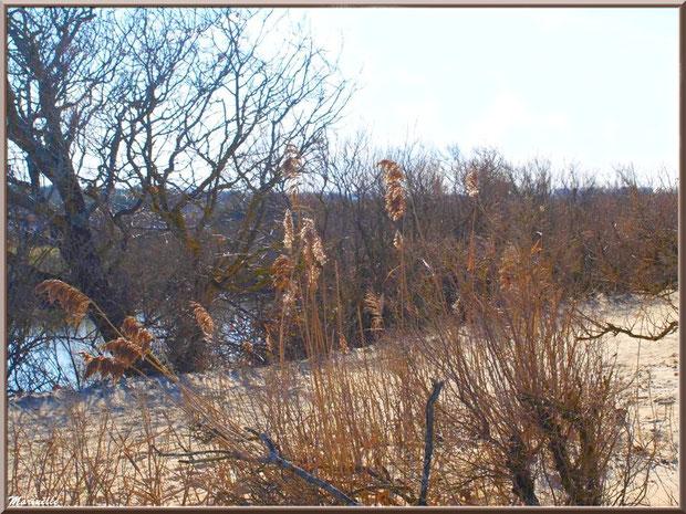 La végétation sur le Sentier du Littoral, en février, secteur Moulin de Cantarrane, Bassin d'Arcachon
