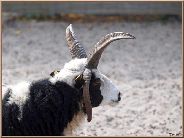 Mouton de Jacob, mouton à 4 cornes, Parc de la Coccinelle, mini-ferme à Gujan-Mestras, Bassin d'Arcachon (33)