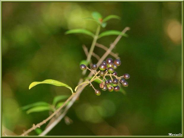 Baies de Troène, flore sur le Bassin d'Arcachon (33)