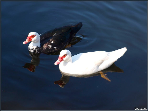 Canard de Barbarie et canard blanc en duo dans le bassin à l'entrée du Parc de la Chêneraie à Gujan-Mestras (Bassin d'Arcachon)