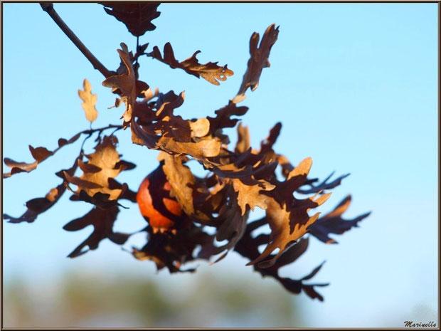 Branche de chêne automnal et une boule (galle du chêne), forêt sur le Bassin d'Arcachon (33)