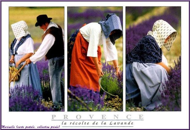 Récolte de la lavande (carte postale, collection privée)