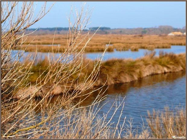 Cotonnier hivernal en bordure des réservoirs, Sentier du Littoral, secteur Domaine de Certes et Graveyron, Bassin d'Arcachon (33)
