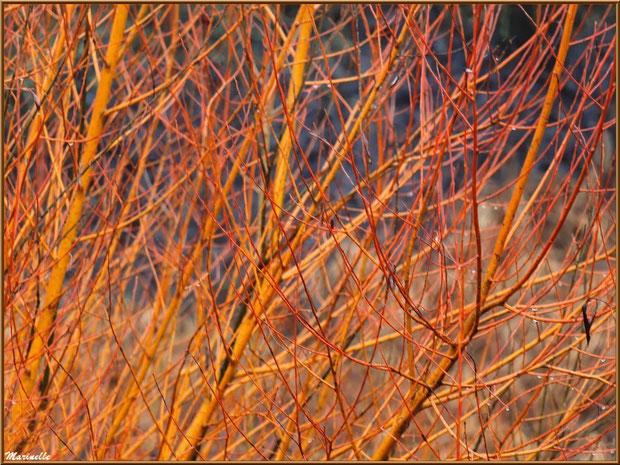 Cornouiller Sanguin ou Bois Puant ou Bois Punais ou Bois Rouge ou Olivier de Normandie ou Puègne Blanche ou Sanguin ou Sanguine et ses branches rouges hivernales, flore Bassin d'Arcachon (33)