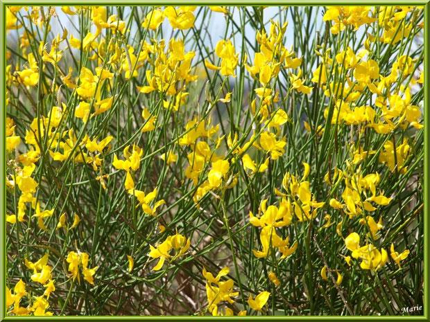 Genêt en fleurs dans la campagne autour du village d'Eygalières dans les Alpilles (Bouches du Rhône)