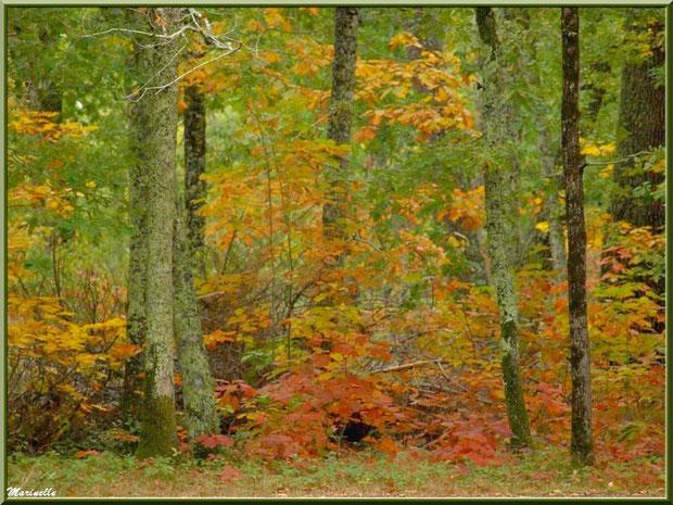 Chênes et sous-bois en début de période automnale, forêt sur le Bassin d'Arcachon (33)