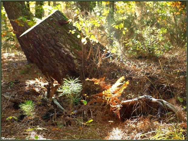 Méli mélo forestier : tronc d'arbre mort, jeunes pousses de pin et végétation automnale, en forêt sur le Bassin d'Arcachon (33)