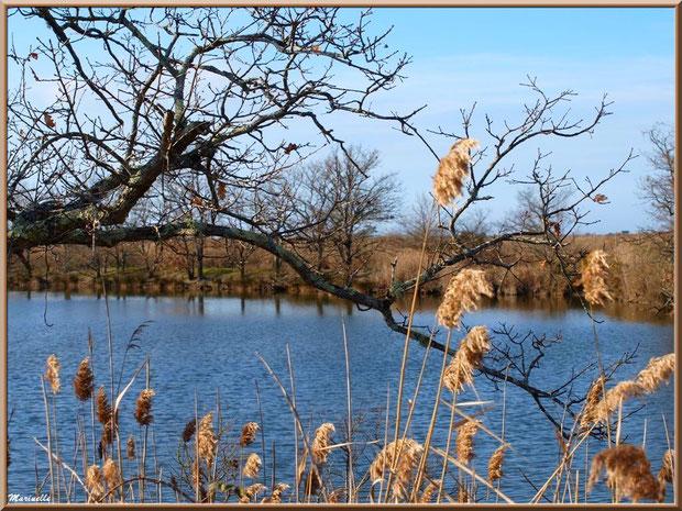 Chênes et roseaux en bordure d'un réservoir, Sentier du Littoral, secteur Port du Teich en longeant La Leyre, Le Teich, Bassin d'Arcachon (33)