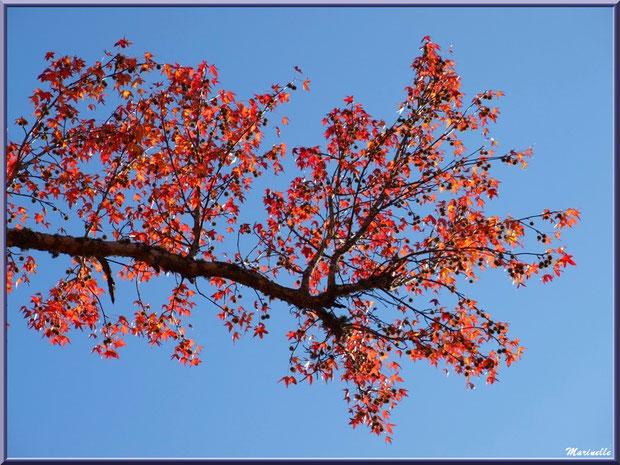 Branche de Liquidambar (ou Copalme d'Amérique) automnal au ciel, forêt sur le Bassin d'Arcachon (33)