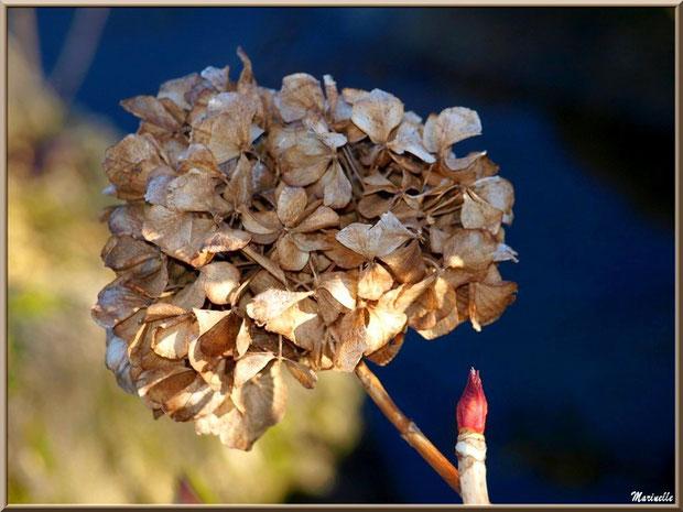 Hortensia en hiver, fleur caramélisée, au Parc de la Chêneraie à Gujan-Mestras (Bassin d'Arcachon)
