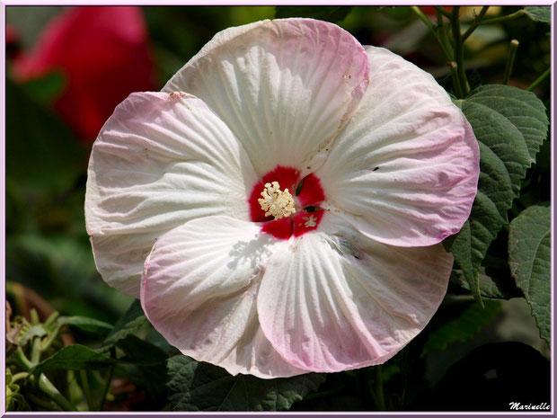 Hibiscus moscheutos rose et blanc à coeur rouge (hibiscus géant)