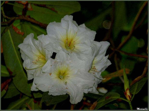 Le sentier de la Vallée du Bas : fleurs de Rhododendron blanc 'Cunningham's White' - Les Jardins du Kerdalo à Trédarzec, Côtes d'Armor (22)