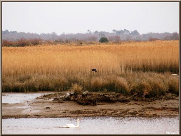 Corbeau en vol et cygne au fil de l'eau dans un chenal longeant les marécages Sentier du Littoral, secteur Moulin de Cantarrane, Bassin d'Arcachon
