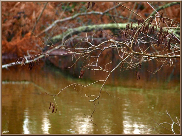 Gousses hivernales d'acacia au-dessus du Canal des Landes et reflets au Parc de la Chêneraie à Gujan-Mestras (Bassin d'Arcachon)