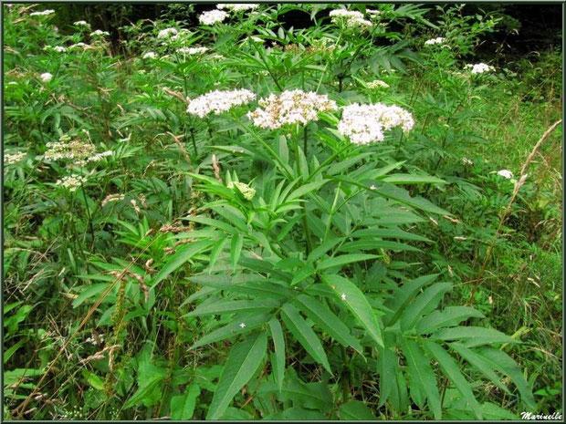 Sureau Hièble en fleurs, flore Bassin d'Arcachon (33)