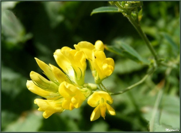 Luzerne jaune, flore Bassin d'Arcachon (33)