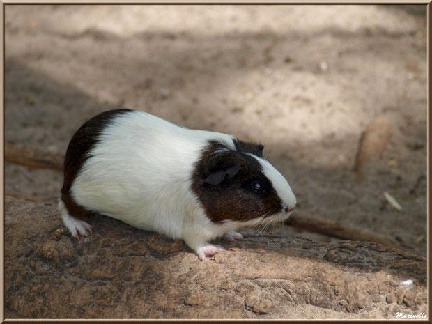 Cochon d'Inde ou Cobaye, Parc de la Coccinelle, mini-ferme à Gujan-Mestras, Bassin d'Arcachon (33)