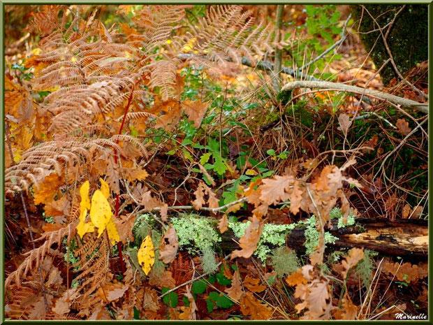Méli mélo forestier automnal : fougères, houx, arbrisseau et branche de chêne moussue, forêt sur le Bassin d'Arcachon (33)