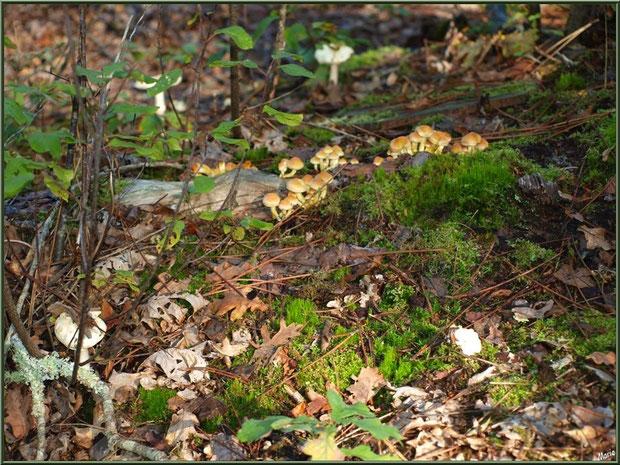 Hypholomes en colonie et Amanites Citrines en forêt sur le Bassin d'Arcachon