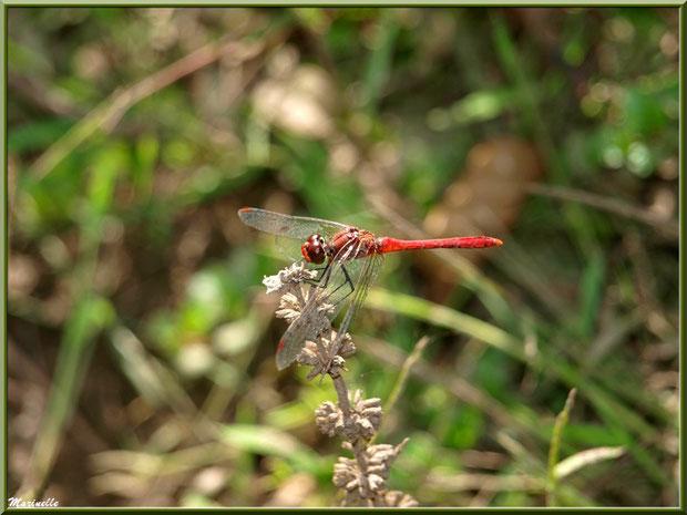 Libellule rouge en bordure de La Leyre sur le Bassin d'Arcachon (33)