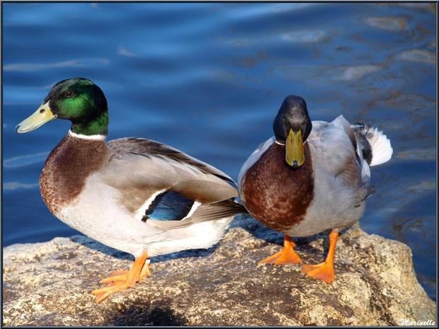 Canards Colvert en duo en bordure du bassin à l'entrée du Parc de la Chêneraie à Gujan-Mestras (Bassin d'Arcachon)