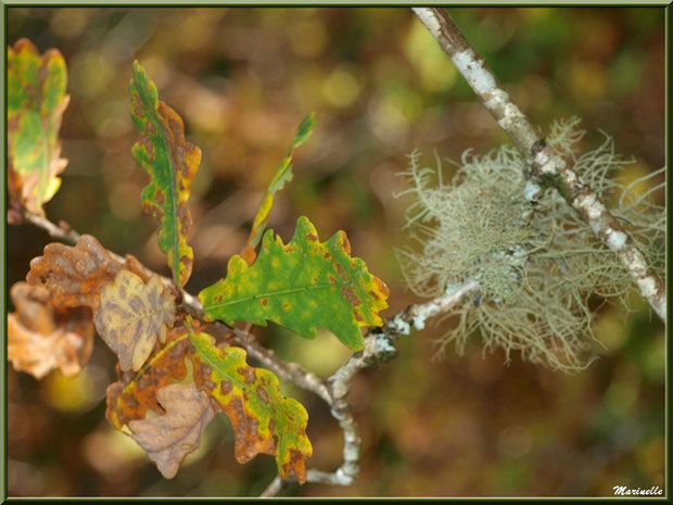 Branche de chêne automnal et mousse du chêne (Evernia Prunastri), forêt sur le Bassin d'Arcachon (33)
