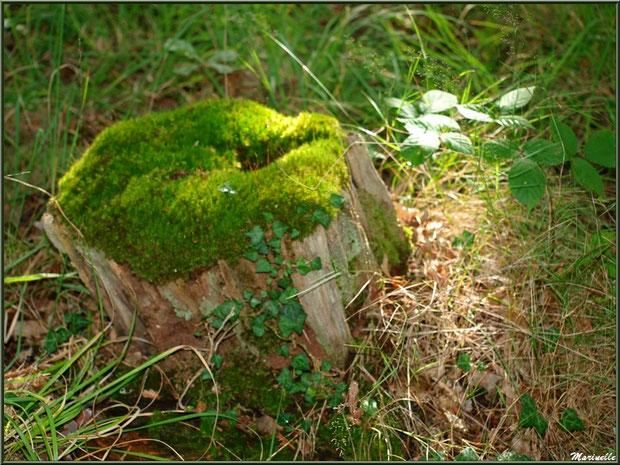 Méli mélo forestier : souche moussue, lierre, roncier et herbes, forêt sur le Bassin d'Arcachon (33)
