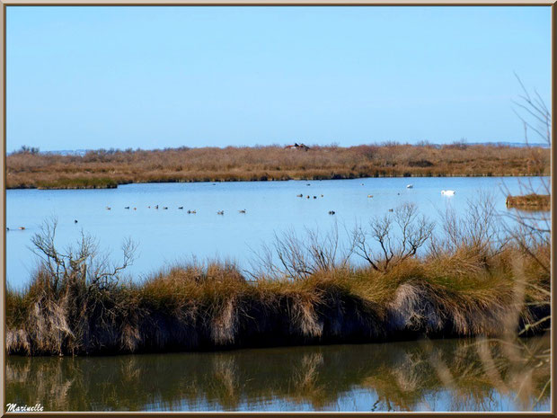Cygnes, foulques et canards dans un réservoir sur le Sentier du Littoral, secteur Moulin de Cantarrane, Bassin d'Arcachon