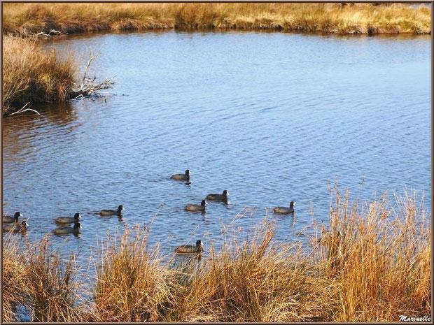 Foulques en famille au fil de l'eau dans un réservoir, Sentier du Littoral, secteur Domaine de Certes et Graveyron, Bassin d'Arcachon (33)