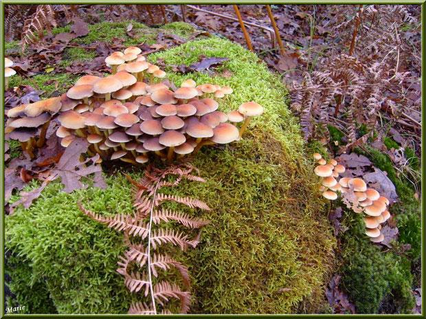 Hypholomes en Touffe sur tronc moussu en forêt sur le Bassin d'Arcachon