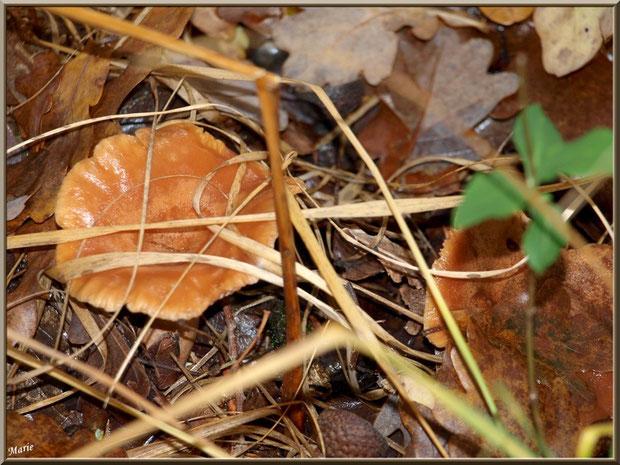 Lactaires à Lait Abondant, bien cachés, en forêt sur le Bassin d'Arcachon