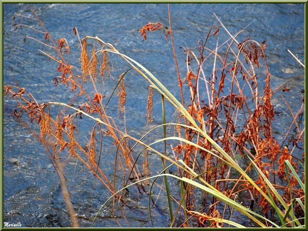 Herbacées en bordure du Canal des Landes au Parc de la Chêneraie à Gujan-Mestras (Bassin d'Arcachon)