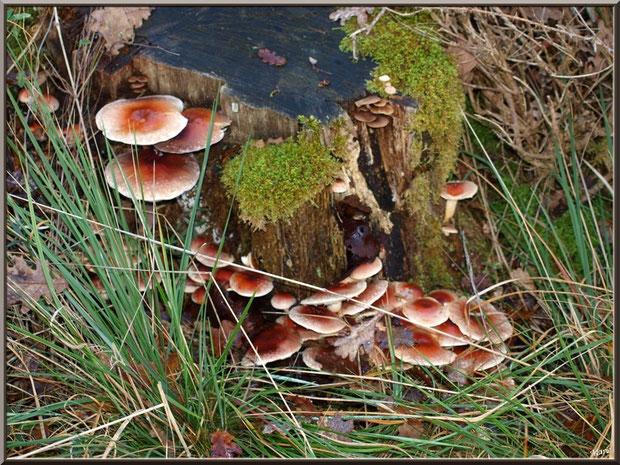 Hypholomes Couleur de Brique en forêt sur le Bassin d'Arcachon