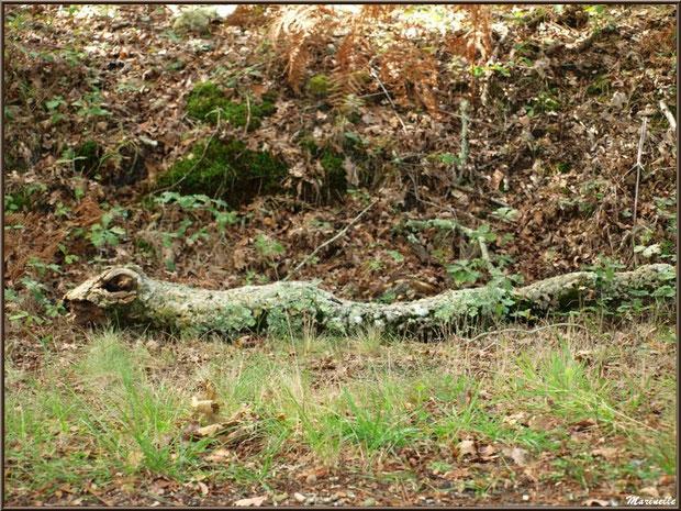 Branche de chêne morte au sol telle un anaconda, forêt sur le Bassin d'Arcachon (33)