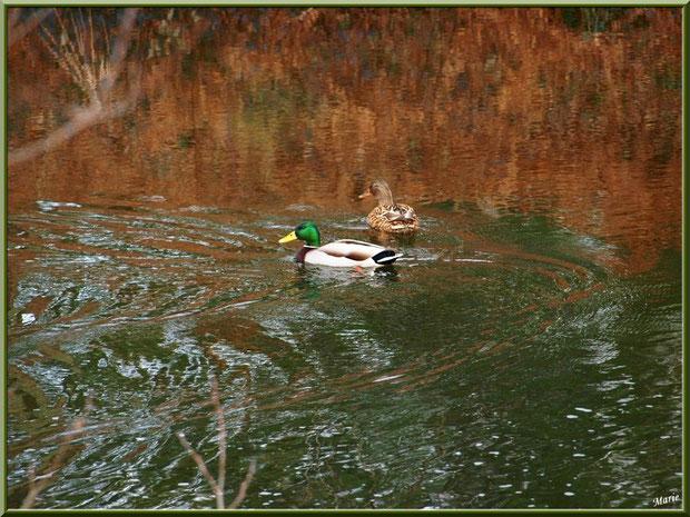 Mr Canard Colvert et Mme parmi les reflets au fil du Canal des Landes au Parc de la Chêneraie à Gujan-Mestras (Bassin d'Arcachon)