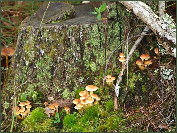 Hypholomes en Touffe en famille au bas d'une souche de pin en forêt sur le Bassin d'Arcachon