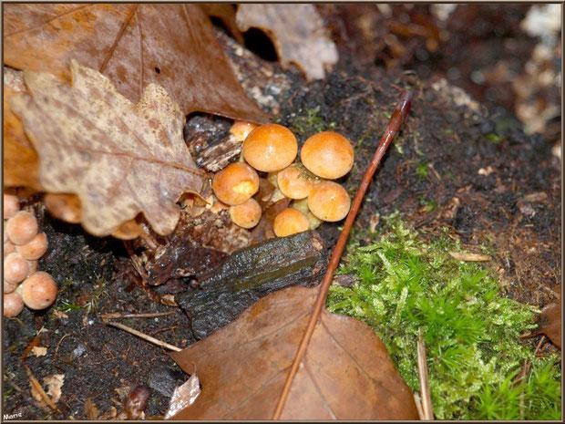 Gymnopiles Remarquables ou Pholiotes Remarquables naissants en forêt sur le Bassin d'Arcachon
