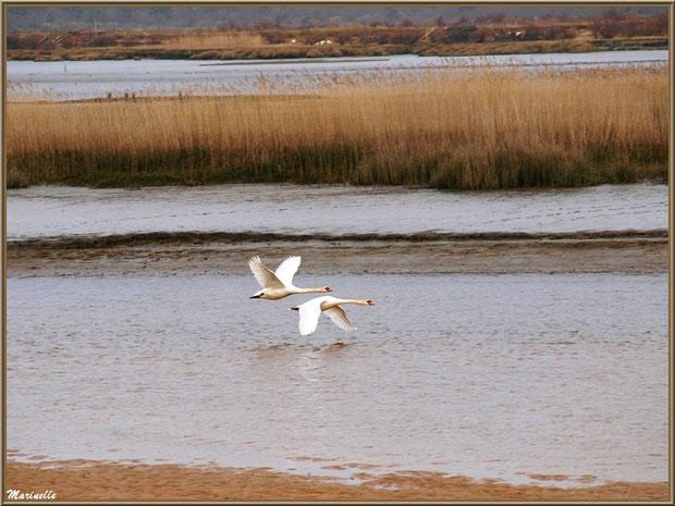 """Couple de cygnes en vol au-dessus de La Leyre au lieu-dit """"La Pointe"""" du delta, Sentier du Littoral Le Teich (Bassin d'Arcachon - 33)"""