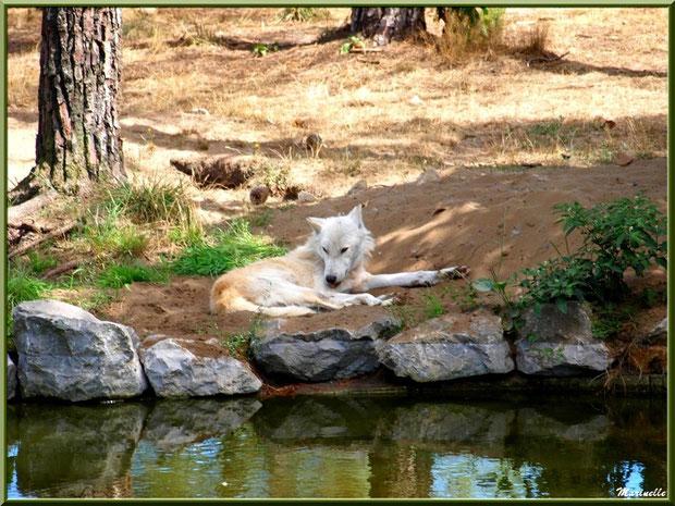 Loup Blanc, Zoo du Bassin d'Arcachon, La Teste de Buch (33)