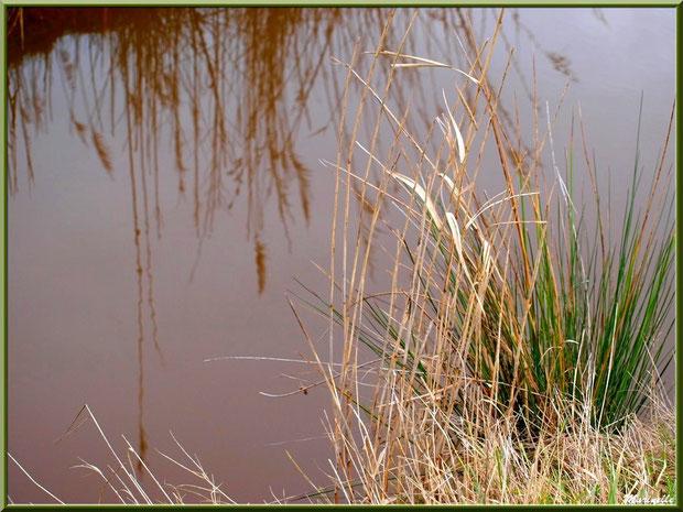 Herbacées et roseaux avec reflets sur un ruisseau, Sentier du Littoral secteur Pont Neuf, Le Teich, Bassin d'Arcachon (33)