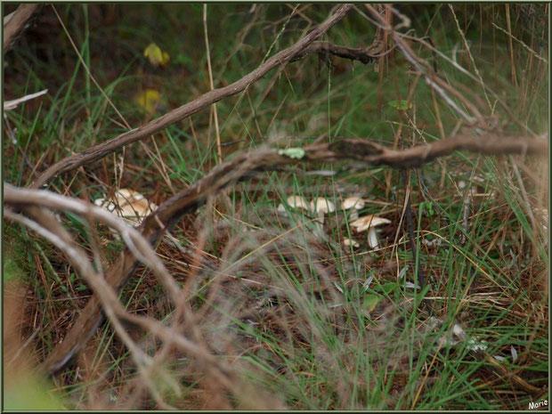 Champignons en colonie cachée en forêt sur le Bassin d'Arcachon