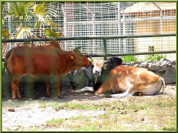 Buffles, Zoo du Bassin d'Arcachon, La Teste de Buch (33)