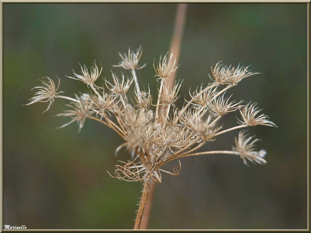 Fleur de Carotte sauvage asséchée par l'hiver, flore sur le Bassin d'Arcachon (33)